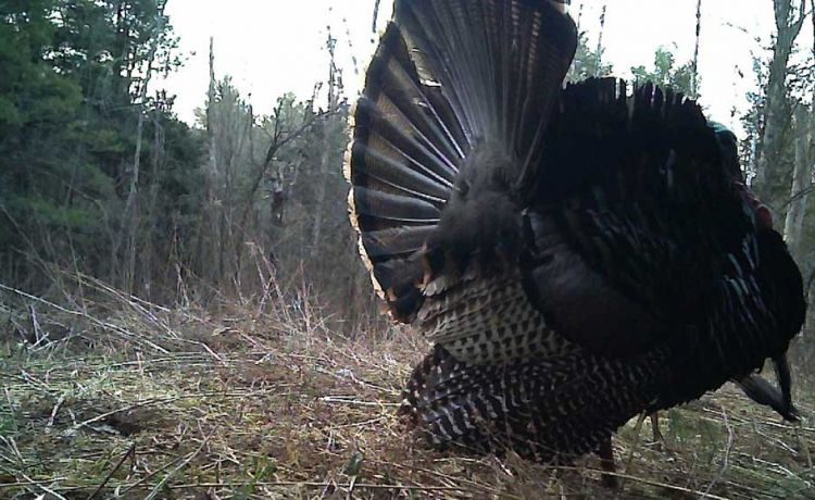 Trail Cam Turkey