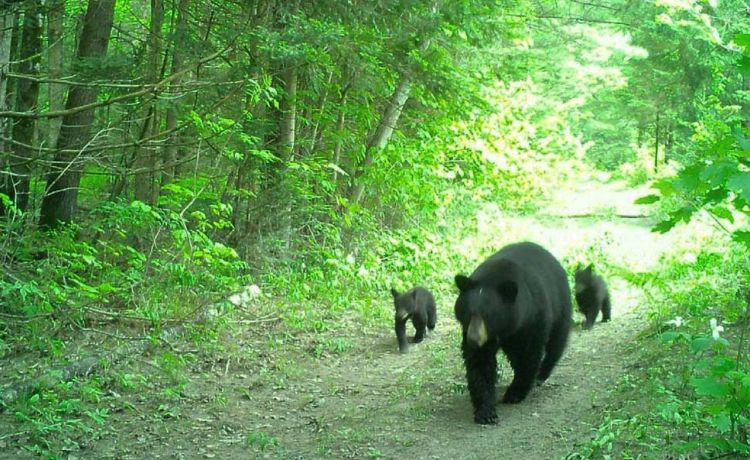 Trail Cam Bears
