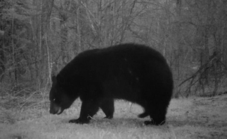 Trail Cam Papa Bear
