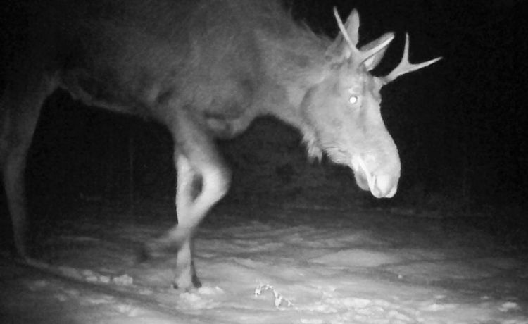 Trail Cam Moose