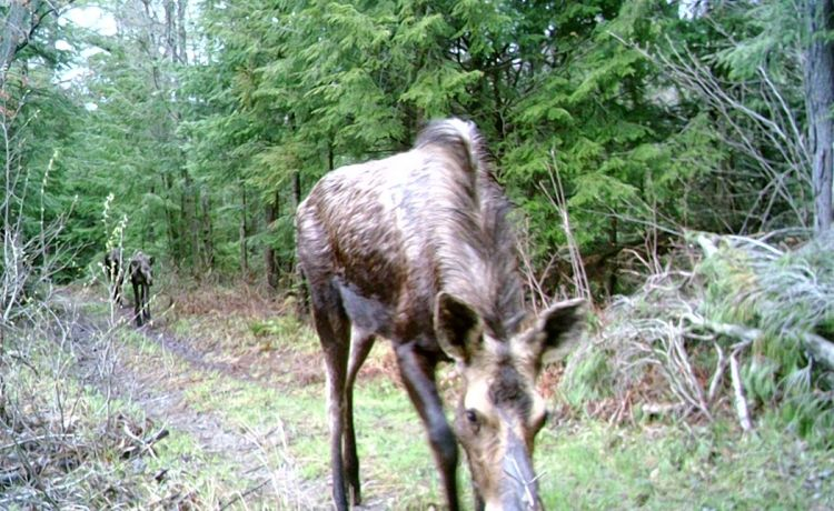 Trail Cam Moose 3
