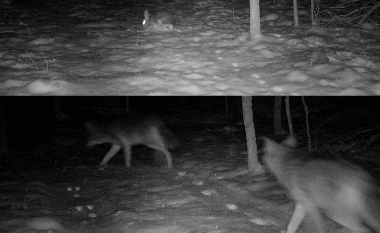 Trail Cam Wolves